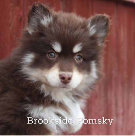 brown and white pomsky in front of old wooden fence