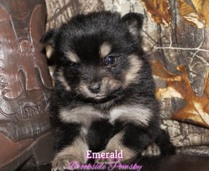 Brookside Pomsky puppy Emerald