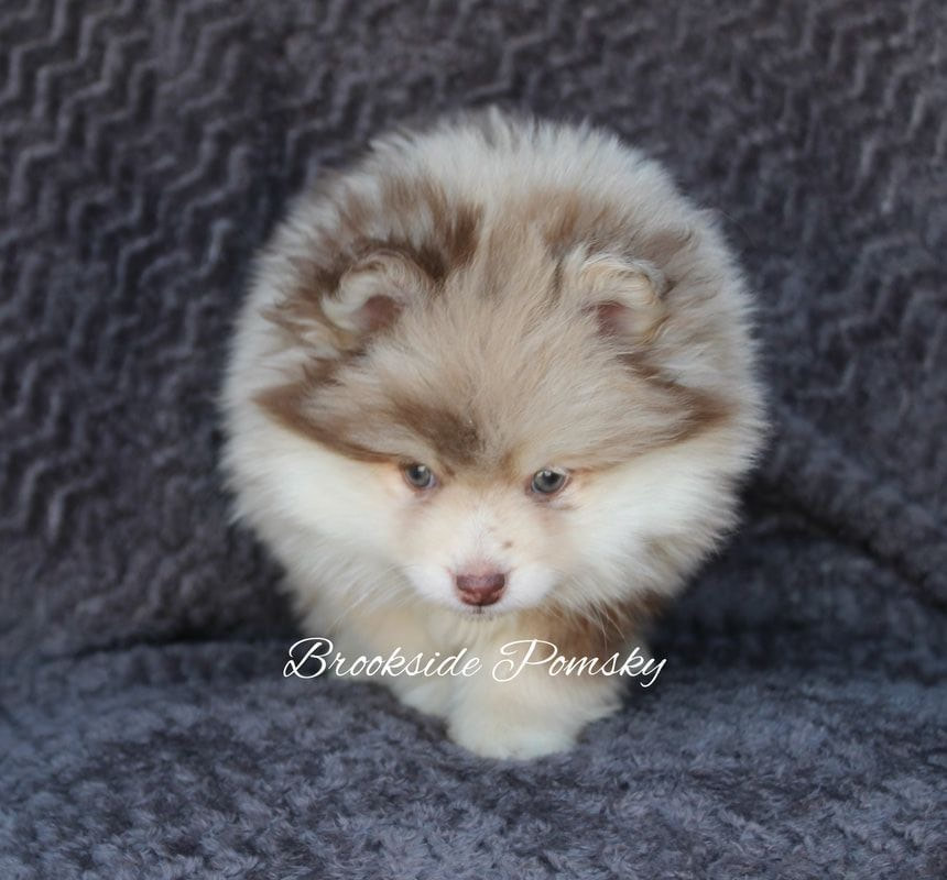Brookside Pomsky Puppies for Sale
