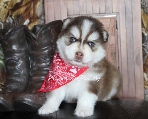 Brookside Pomsky puppy brown and white