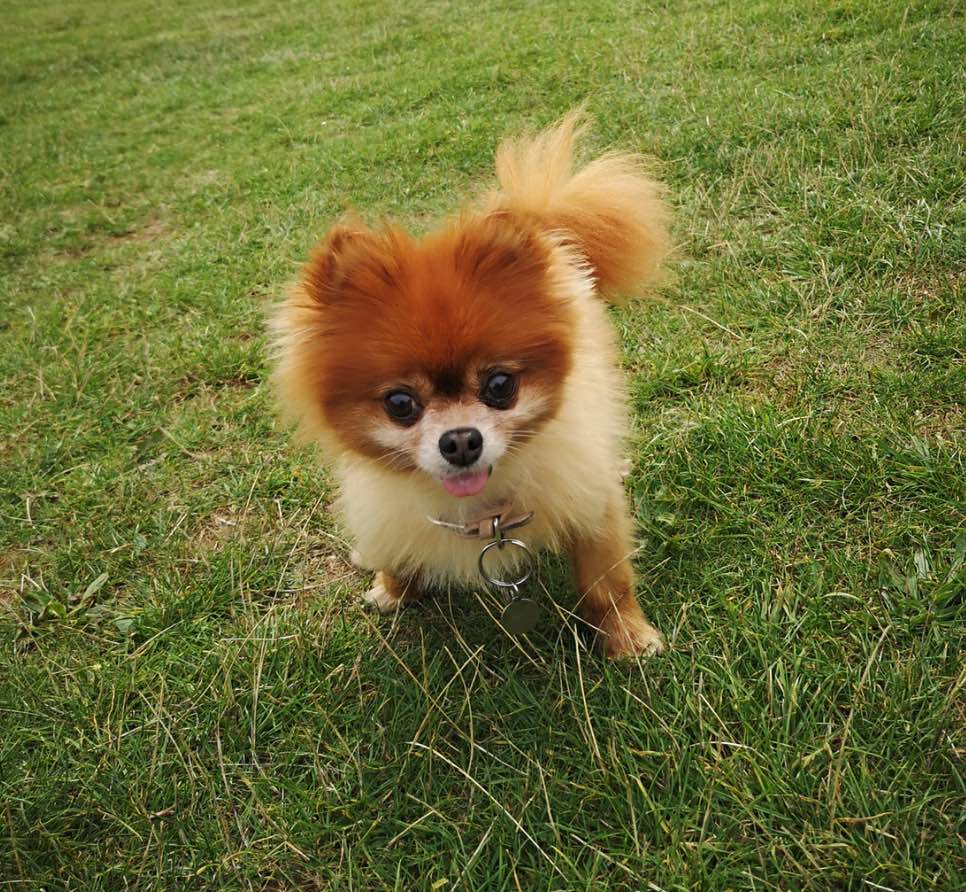 pomeranian dog playing on the grass