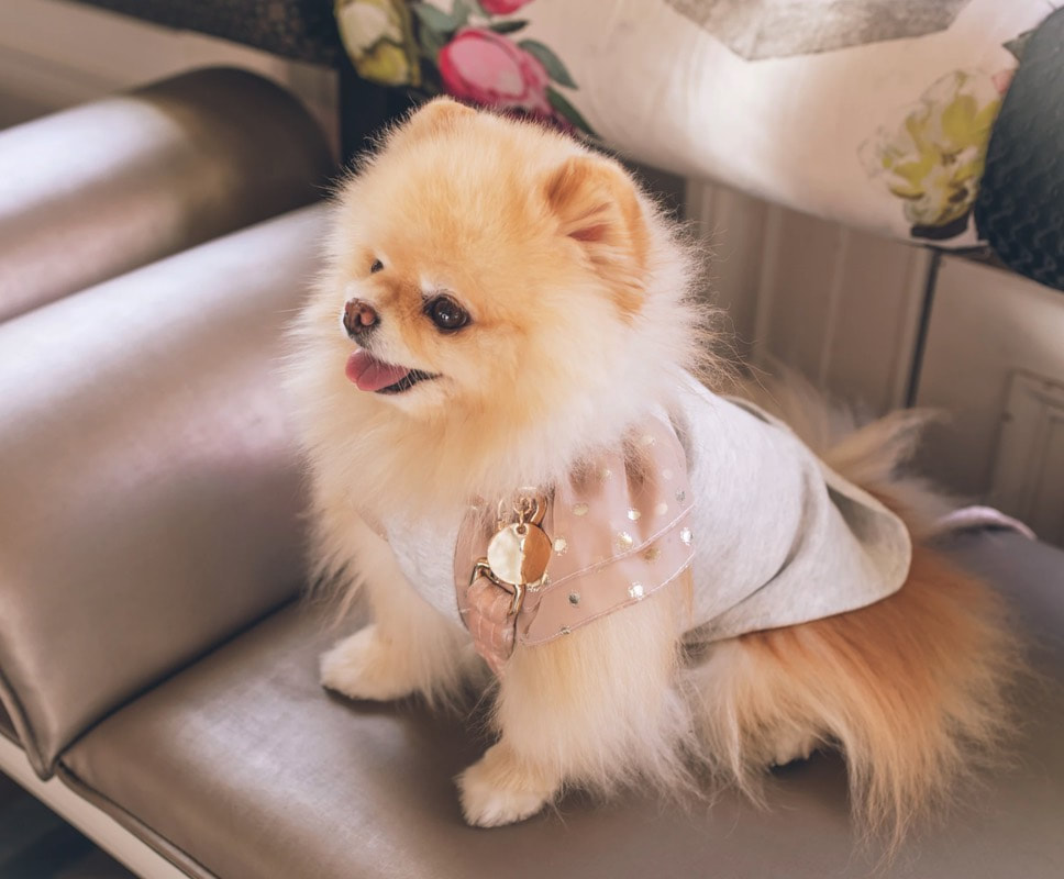 Pomeranian dog sitting on gray leather couch