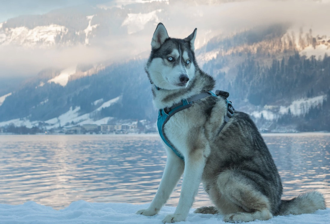 Gorgeous husky dog sitting on snow in cold weather