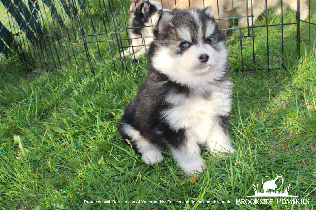 Brookside Pomsky puppy brown