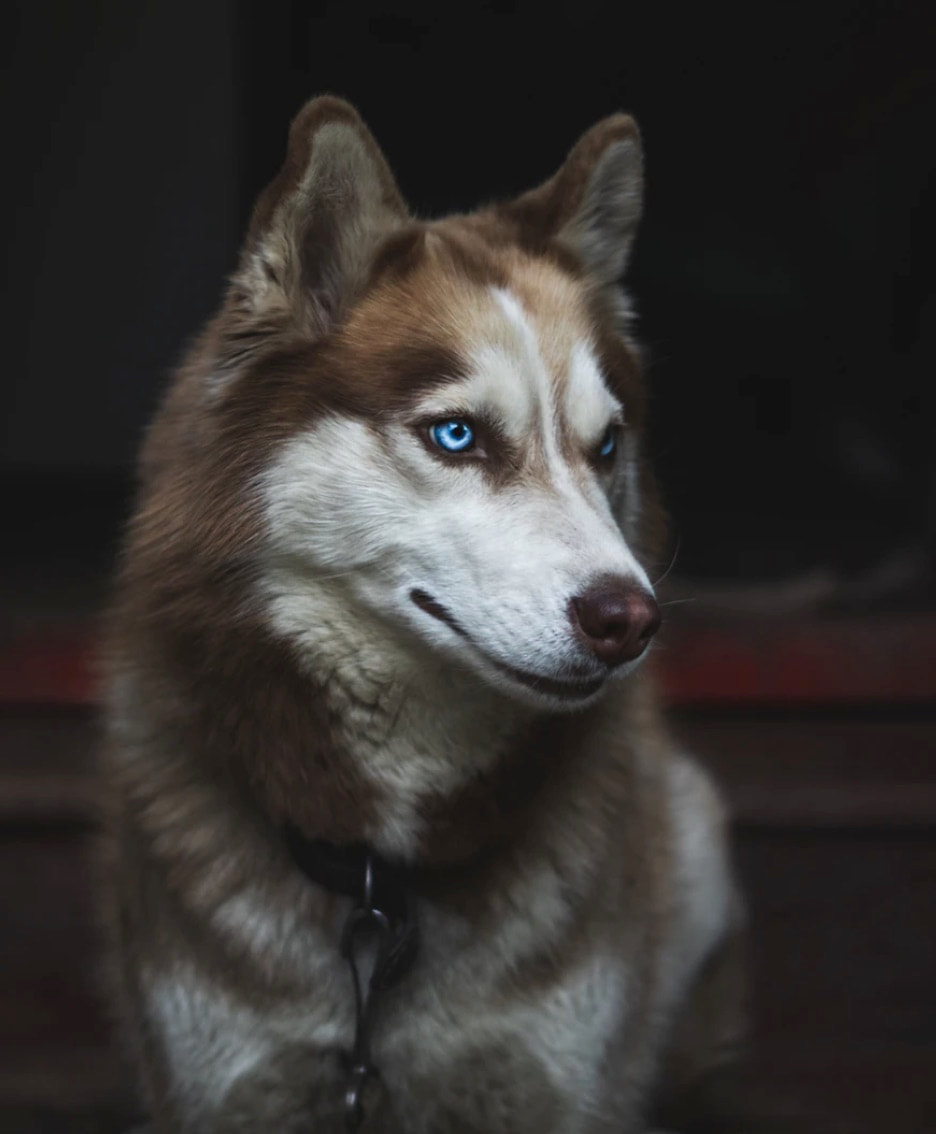 tan and white husky dog with blue eyes